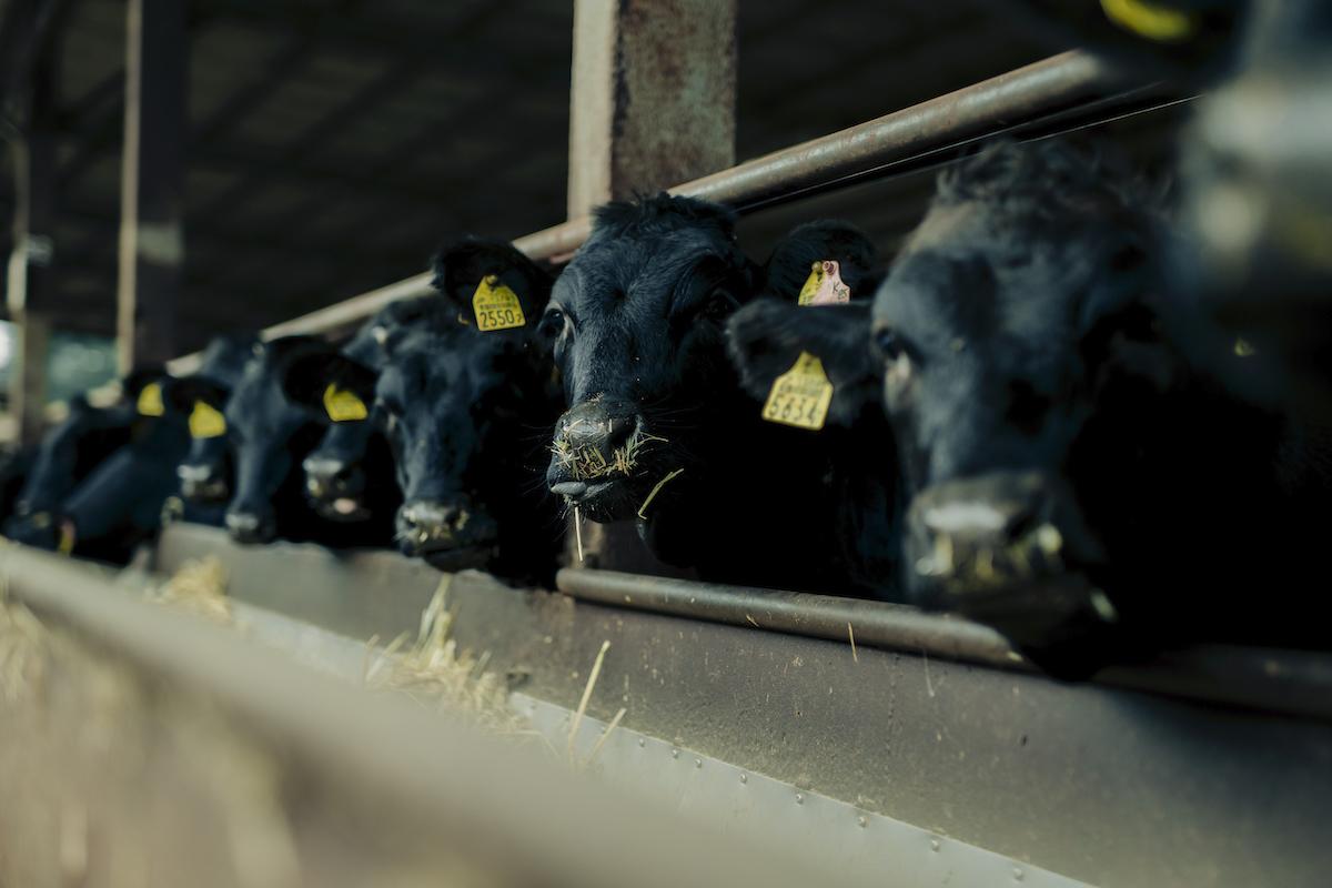 牛舎で過ごす牛たちの写真