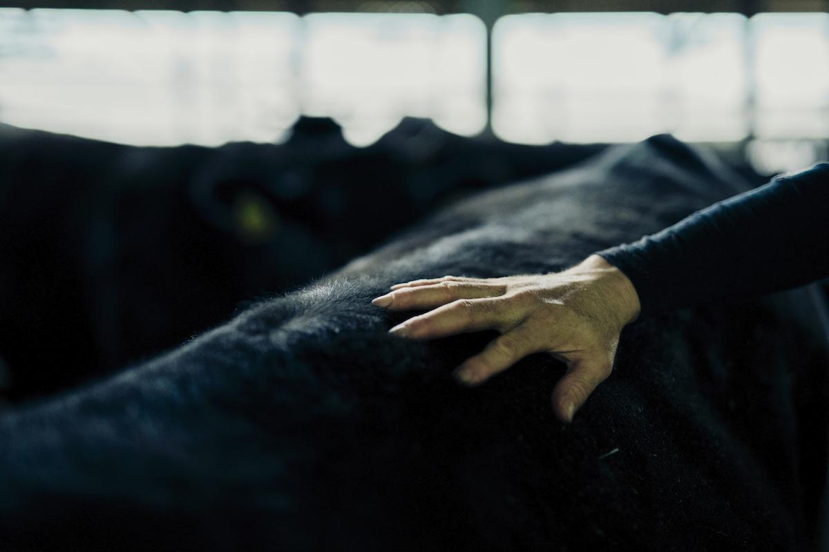 牛の背を撫でる飼育員の写真